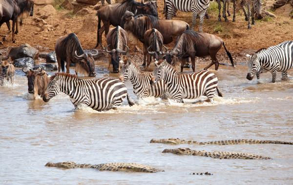 Nyáj zebrák afrikai kék folyó krokodilok Stock fotó © hedrus