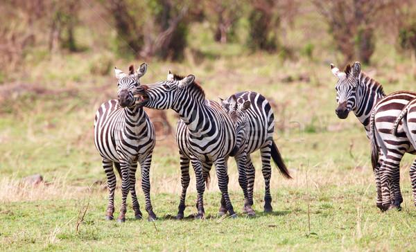 Zebralar Afrika oynama doğa rezerv Stok fotoğraf © hedrus