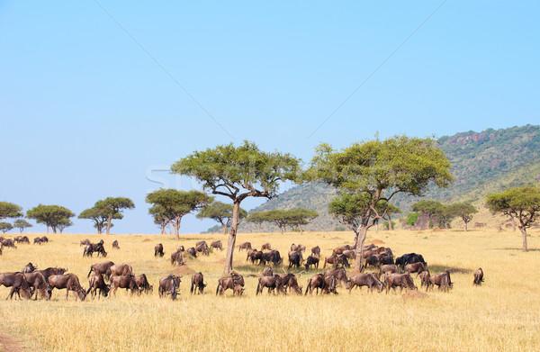 Blue wildebeest (Connochaetes taurinus) Stock photo © hedrus