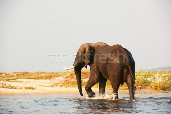 Büyük afrika fil boğa yürüyüş nehir Botsvana Stok fotoğraf © hedrus