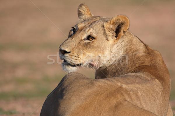 Aslan Güney Afrika kafa doğa Stok fotoğraf © hedrus