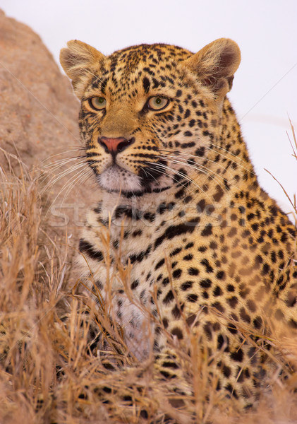 Leopard resting in savannah Stock photo © hedrus