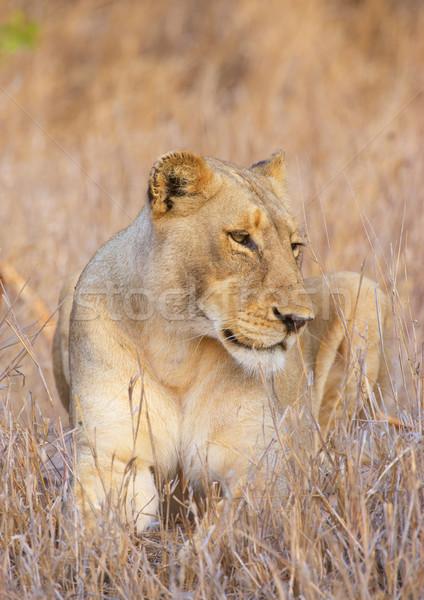 Közelkép szavanna Dél-Afrika természet száj oroszlán Stock fotó © hedrus