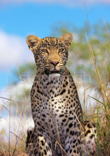 Leopard саванна природы резерв ЮАР Сток-фото © hedrus