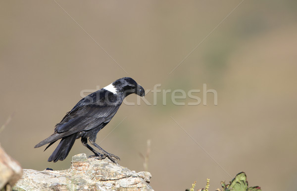Raaf vergadering rock South Africa vogel zwarte Stockfoto © hedrus