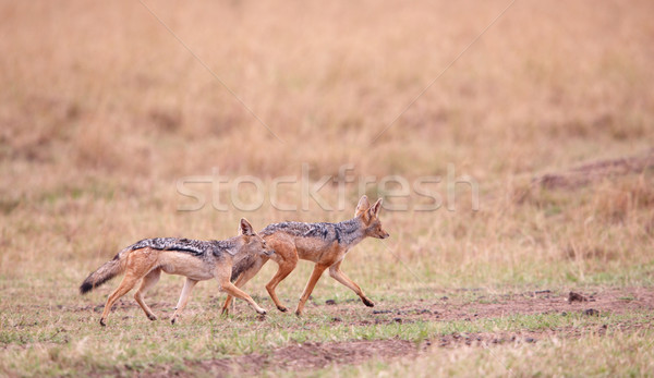 Stock photo: Two Black-backed Jackals (Canis mesomelas)