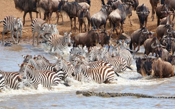 Herd of zebras (African Equids) and Blue Wildebeest (Connochaete Stock photo © hedrus