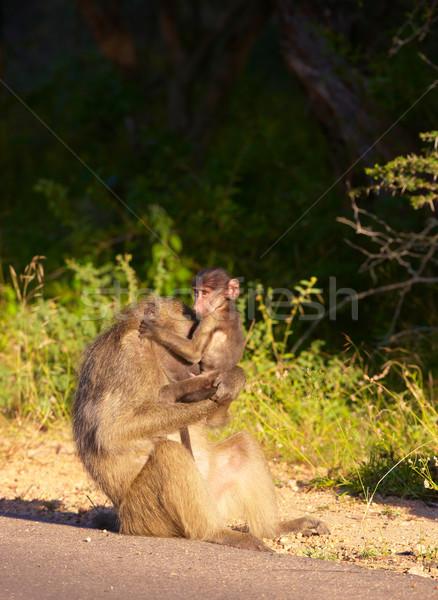 Chacma baboon (Papio cynocephalus) Stock photo © hedrus