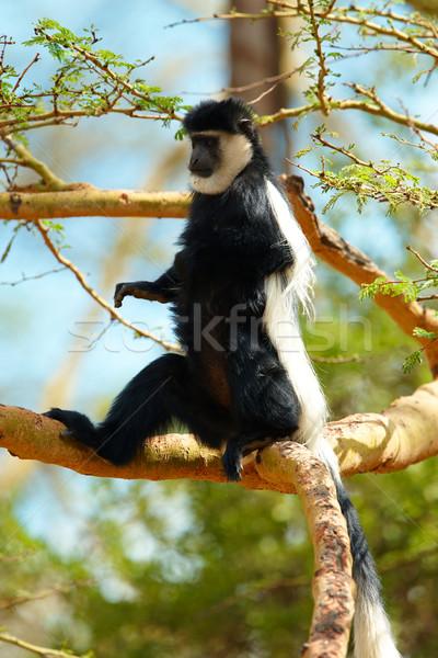 Maymun oturma ağaç Güney Afrika doğa yaprakları Stok fotoğraf © hedrus