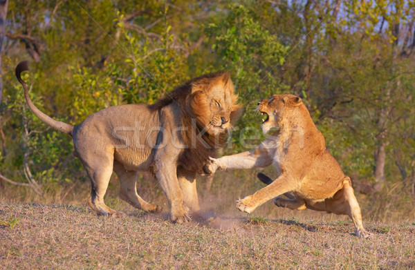Stock photo: Lion (panthera leo) and lioness fighting