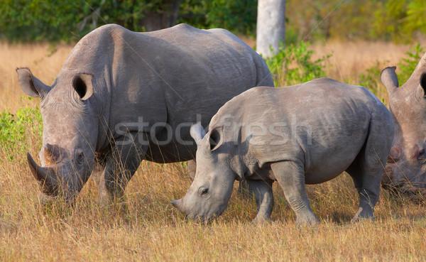 Group of white rhinoceros Stock photo © hedrus