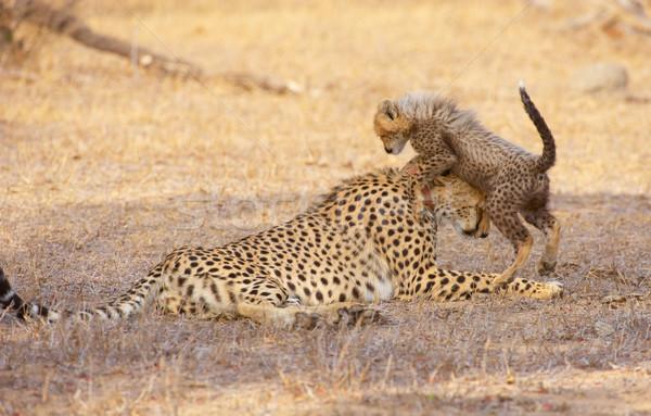 çita anne oynama Güney Afrika Stok fotoğraf © hedrus