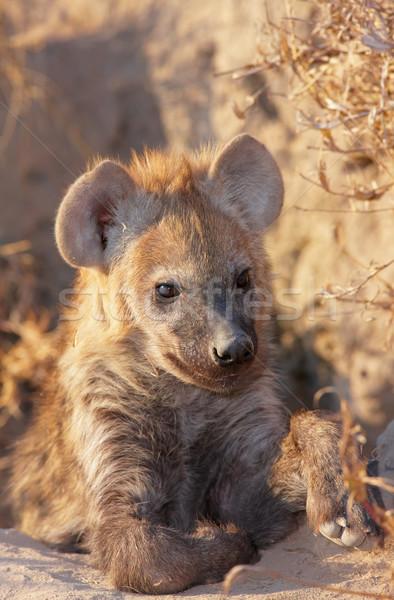 Baby grond South Africa afrika natuurlijke jacht Stockfoto © hedrus