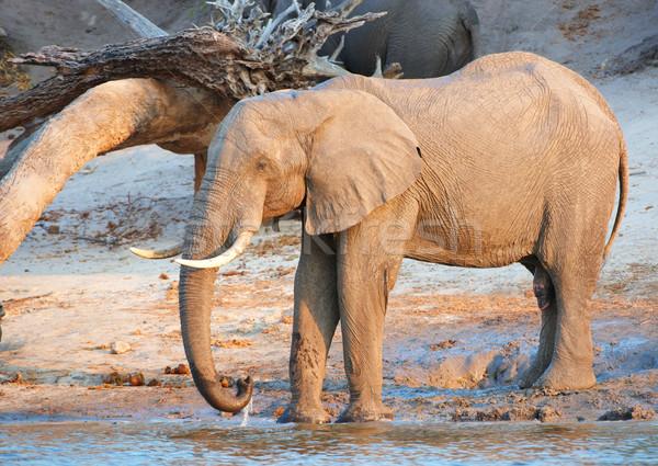 Nagy nyáj afrikai elefántok iszik folyó Stock fotó © hedrus