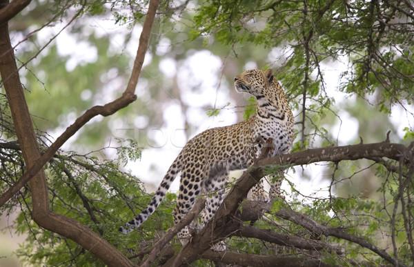 Leopárd áll fa levegő természet tartalék Stock fotó © hedrus