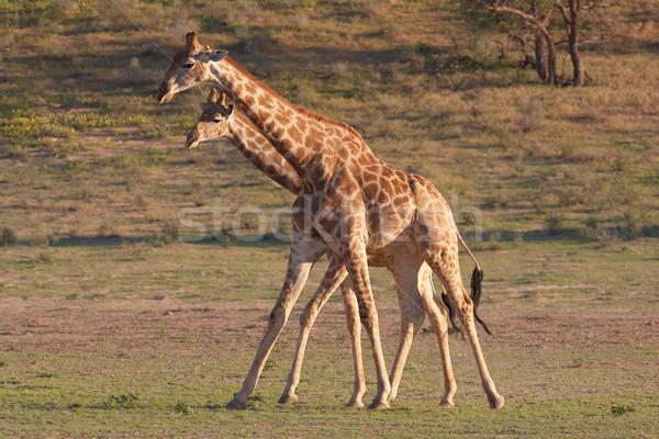 Two giraffe (Giraffa camelopardalis) Stock photo © hedrus