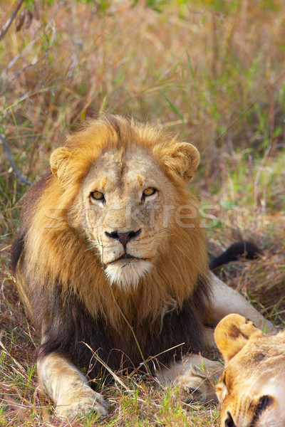 Lion and lioness (panthera leo)  Stock photo © hedrus