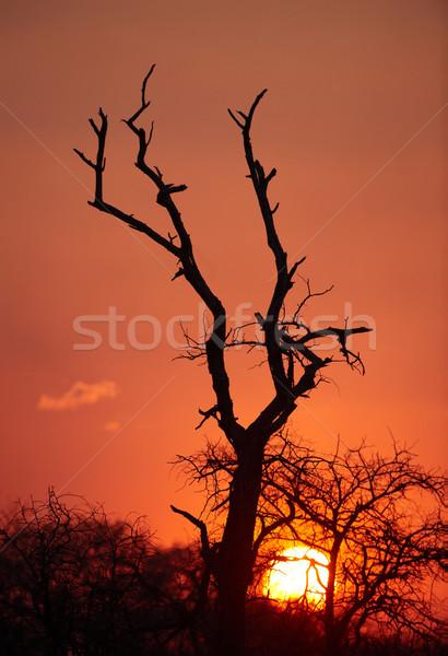 Beautful tree silhouette at sunset Stock photo © hedrus