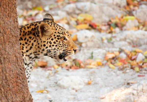 Leopárd ül fű vadászat természet tartalék Stock fotó © hedrus