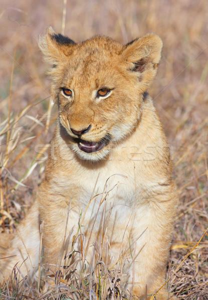 Stok fotoğraf: Aslan · oturma · Güney · Afrika