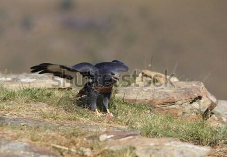 Kaya Güney Afrika çift kuş siyah bitki Stok fotoğraf © hedrus