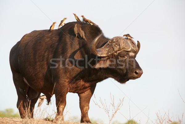 Stok fotoğraf: Güney · Afrika · doğa · kafa · hayvan