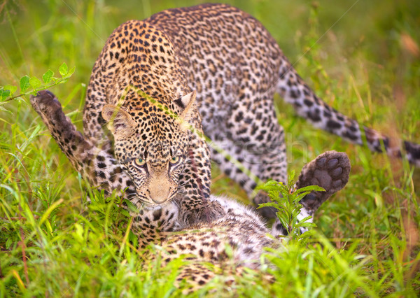 Two Leopards playing in savannah Stock photo © hedrus