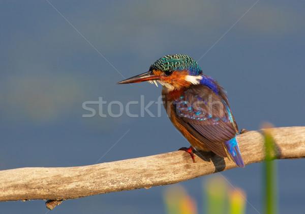Malaquita martim-pescador sessão ramo blue sky África do Sul Foto stock © hedrus