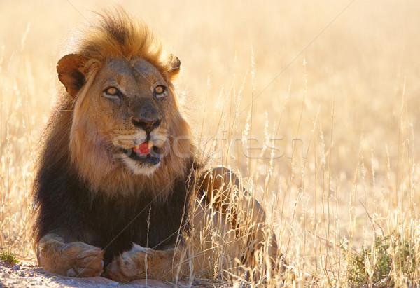лев саванна ЮАР природы зубов Сток-фото © hedrus