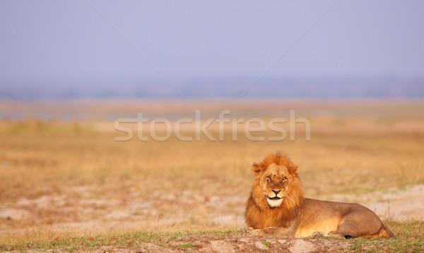 Oroszlán szavanna Botswana természet állat kék ég Stock fotó © hedrus