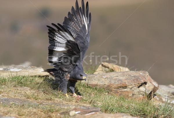 Urubu caminhada rochas África do Sul olhando alertar Foto stock © hedrus