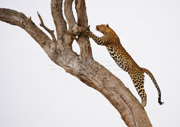 Leopard jumping on the tree Stock photo © hedrus