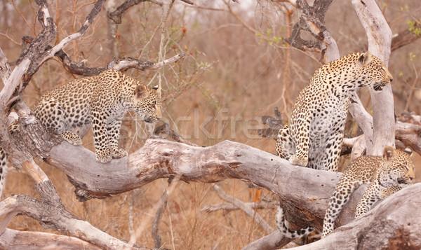 Three Leopards resting on the tree Stock photo © hedrus