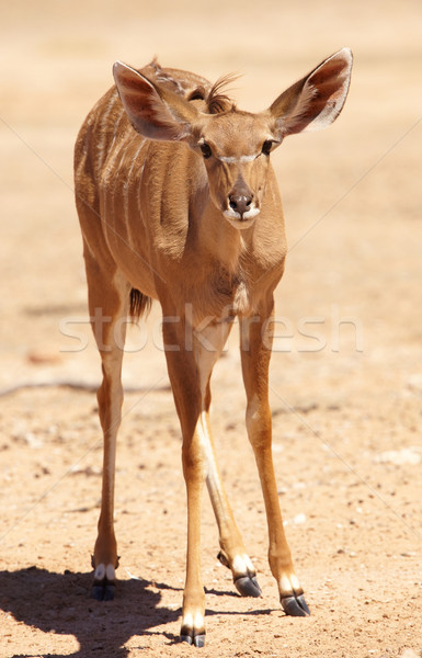 Single Kudu (Tragelaphus Strepsiceros) Stock photo © hedrus