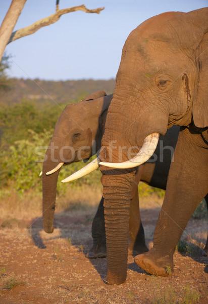 Large elephant bull with calf Stock photo © hedrus