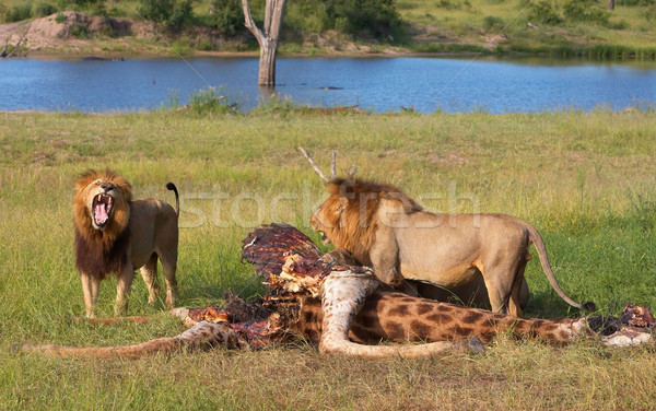 Two Lions (panthera leo) in savannah Stock photo © hedrus