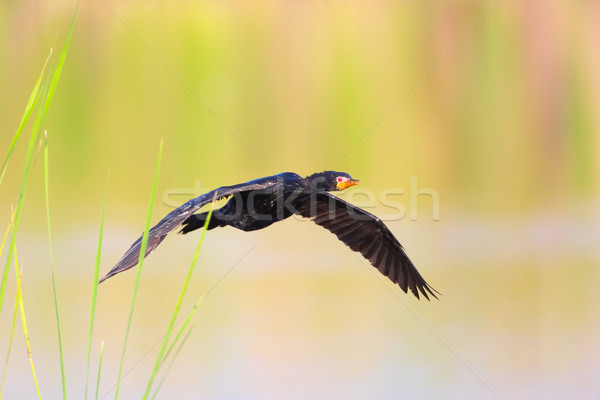 Reed Cormorant (Phalacrocorax africanus) Stock photo © hedrus