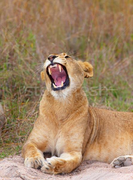Közelkép ádáz szavanna Dél-Afrika természet száj Stock fotó © hedrus