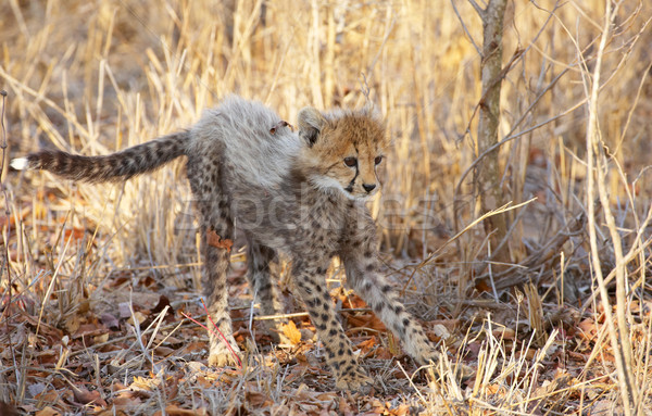 Cheetah welp klein spelen savanne South Africa Stockfoto © hedrus