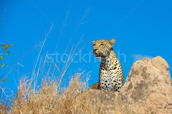 Leopárd pihen szavanna áll kő természet Stock fotó © hedrus