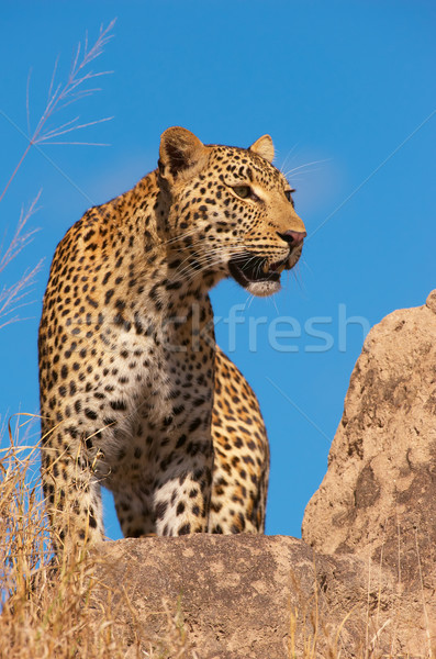 Leopard Постоянный рок саванна природы резерв Сток-фото © hedrus