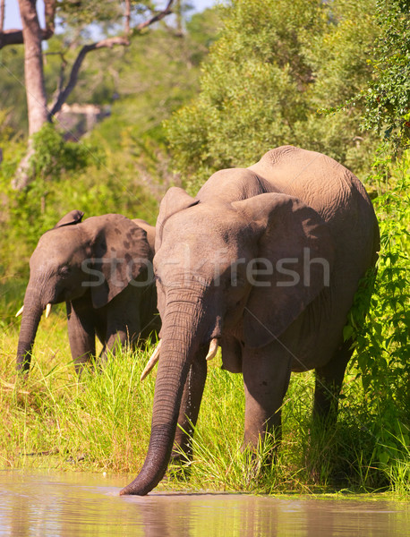 Iki filler Güney Afrika yürüyüş su savan Stok fotoğraf © hedrus