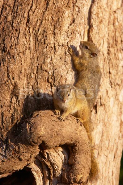 Fa mókus kettő mókusok Dél-Afrika erdő Stock fotó © hedrus