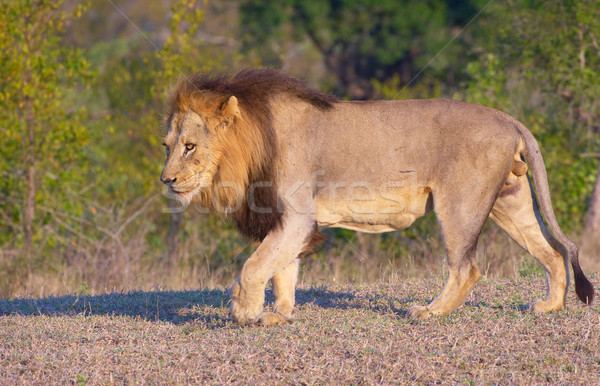 Lion (panthera leo)in savannah Stock photo © hedrus