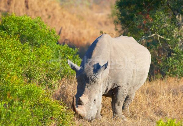 Large white rhinoceros Stock photo © hedrus