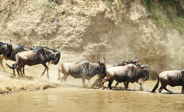 Herd of Blue Wildebeest (Connochaetes taurinus) Stock photo © hedrus