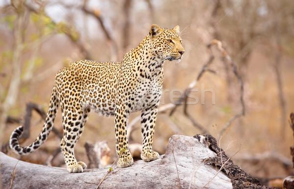 Leopárd áll fa éber természet tartalék Stock fotó © hedrus