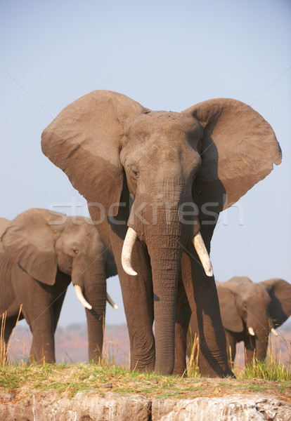 Stock photo: Large African elephant bull in a herd