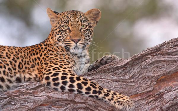 Leopárd fa természet tartalék Dél-Afrika lövés Stock fotó © hedrus