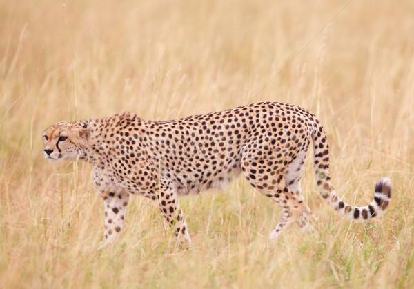 Stock photo: Cheetah (Acinonyx jubatus) in savannah
